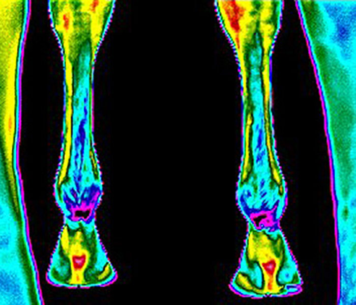 equine-thermal-imaging-3