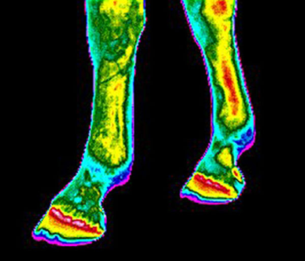 equine-thermal-imaging-4